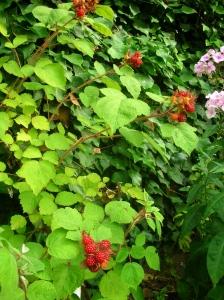 Japanese wineberries