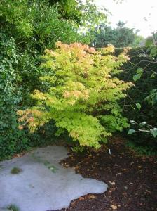 Acer palmatum Sangukaku