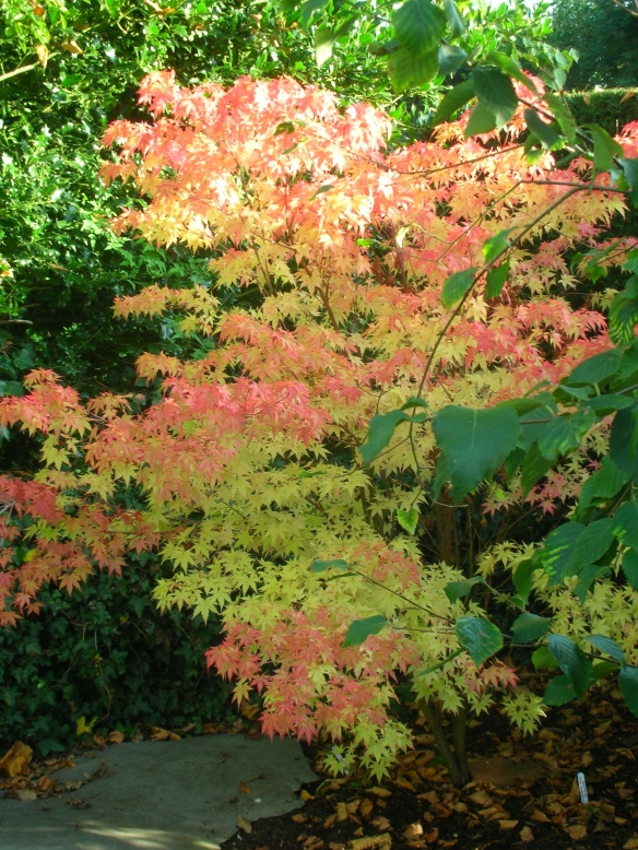Acer palmatum Sengukako