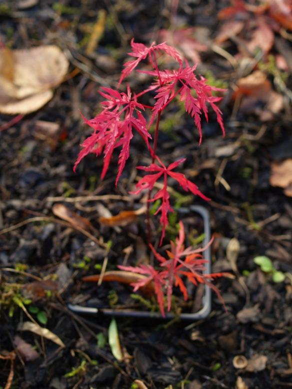 Matsukaze seedling