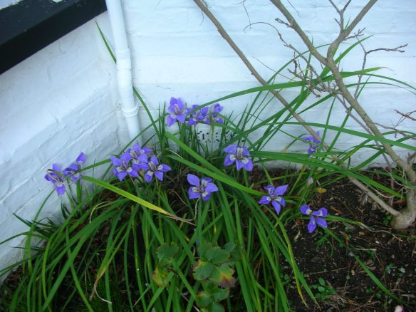 Iris stylosa