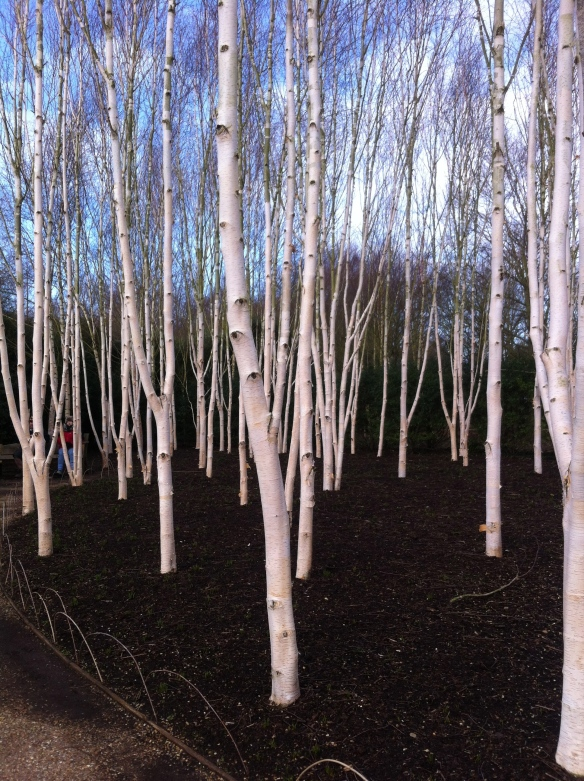 Birches in Anglesea Abbey gardens Winter Walk today.