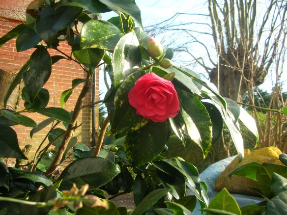 Camellia Mary Phoebe Taylor