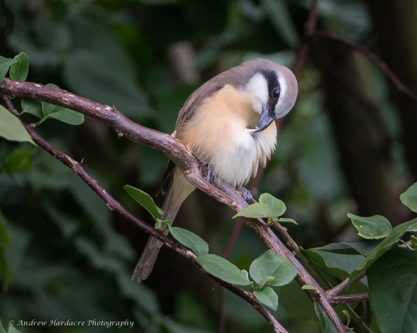 Preening Brown Shrike