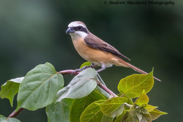 Brown Shrike2