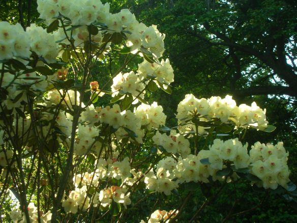 Rhododendron Yakushimanum Flava