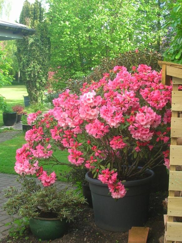 Rhododendron Yakushimanum Cupcake