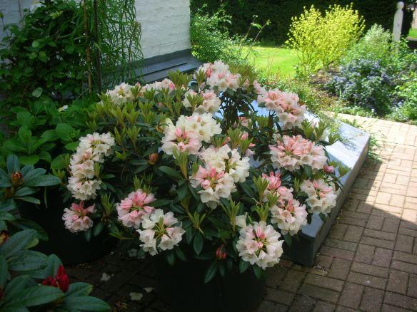 Rhododendron Yakushimanum Morgenrot