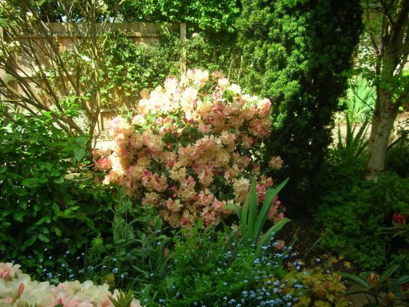 Rhododendron Yakushimanum Percy Wiseman