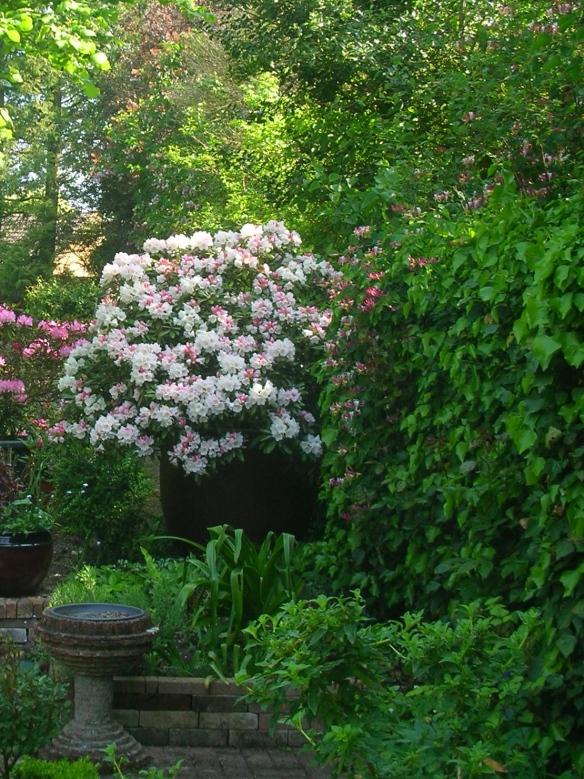 Rhododendron Yakushimanum Edelweiss