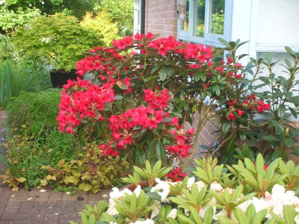Rhododendron Yakushimanum Titian Beauty