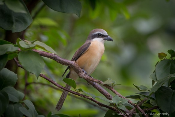 Shrike close