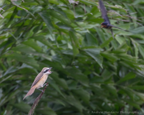 Shrike Swallow