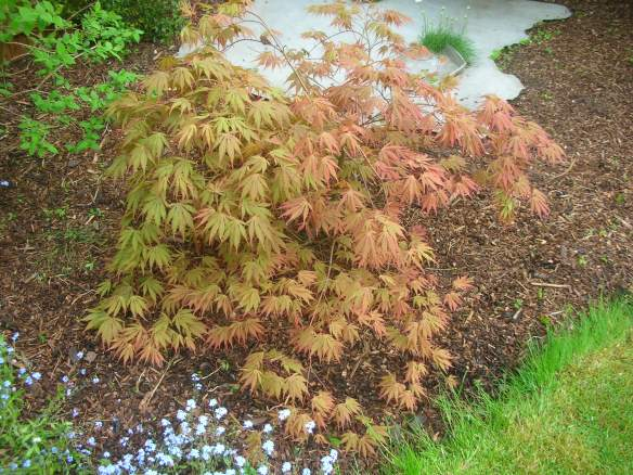 Acer palmatum Matsukaze