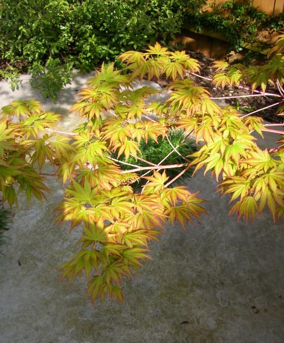 Acer palmatum Sengo Kaku